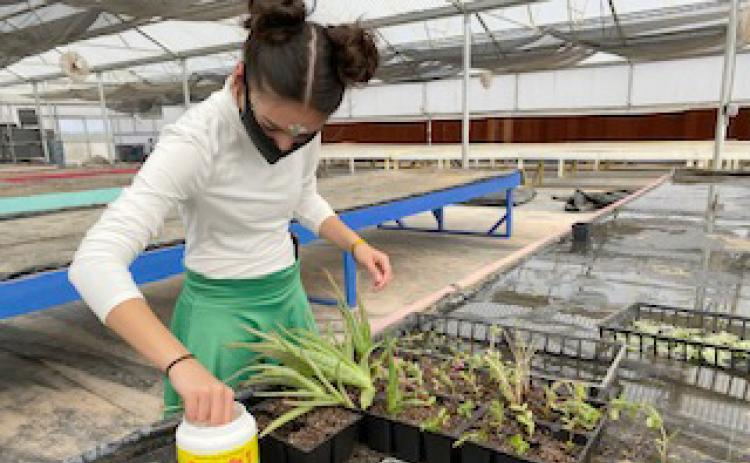 Junior Katie Deleroa worked on a herbaceous cutting propagation lab.